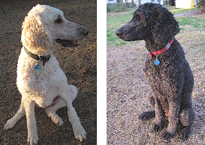 Who needs eternal life when you've got poodles?