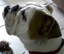 Ruby, the bulldog